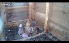 Texas Barn Owls (@texasbarnowls) | Twitter