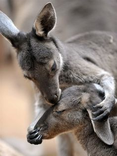 a nice moment:  Kissing Kangaroos Photo: MSNBC Wildlife animals Wilderness Photography Australian