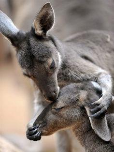 KISSING KANGAROOS.....BY MSNBC....ON PALETTE MOUVANTE....TUMBLR.....