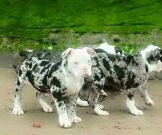 """Receive terrific tips on """"great dane puppies"""". They are readily available for you on our website. Pitbull Dog Puppy, Dane Puppies, Great Dane Puppy, Bully Dog, Merle Pitbull, Doggies, Amstaff Terrier, Bull Terrier Dog, Blue Merle"""