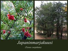 Japaninmarjakuusi - puulajipuisto
