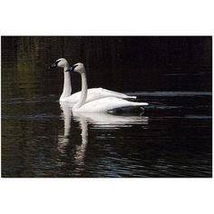 Trademark Art Twin Swans by Kurt Shaffer, Size: 24 x 32, Multicolor