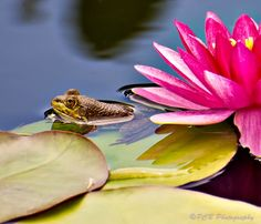 In The Lily Pond - Photograph at BetterPhoto.com