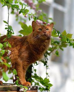 Сомалийская кошка (фото): идеальный компаньон для весёлых людей Смотри больше http://kot-pes.com/somalijskaya-koshka-foto-idealnyj-kompanon-dlya-vesyolyx-lyudej/