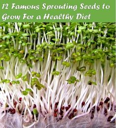 12 sprouting seeds you can grow at home for a nutrition rich diet. Growing Sprouts, Growing Microgreens, Growing Seeds, Growing Veggies, Do It Yourself Food, Sprouting Seeds, Sprout Recipes, Raw Vegan Recipes, Grow Your Own Food