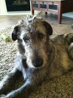 ....there is no more handsomer face than that of an Irish Wolfhound...(especially this Wolfie :) ... Jack 5 1/2 months old