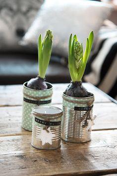 Bra idé: kruka till hyacint av gammal konservburk!