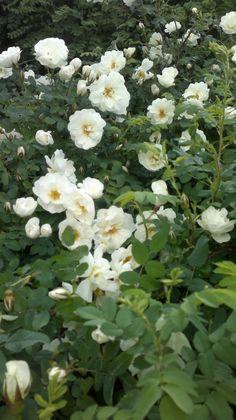 Midsummer roses juhannusruusuja Finlands vita rosor