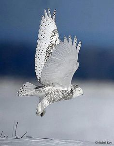 Snowy Owl by Michel Roy