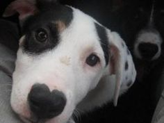 Cupid is an adoptable Labrador Retriever Dog in Boynton Beach, FL. Hi, my name is Cupid! Im a 5 month old potcake male looking for my home. I have the cutest little heart on my nose, thats why Im c...