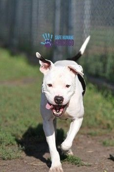Please network for Fancy (ID#A113327), a 3-yr old pit bull who has been at the Chicago ACC since July 2014. She is described as happy, high energy and beautiful. She is highly intelligent and very treat motivated. She will do best w/an active owner who wants an energetic friend. Click for video, Facebook link and information on adopting this beautiful girl. Please, let's do everything we can to find her the loving happy home she deserves! (11/11)