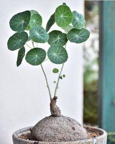 1x bouture CRASSULA GOLLUM plant succulent varietaga caudex