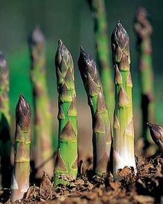 Gardening Vegetables How to Grow Asparagus get it right and crops will grow for 20 years. - Gardener's Supply -- How do you grow asparagus? Learn how to plant asparagus. Once established, an asparagus bed will produce for 25 years or more. Organic Gardening, Gardening Tips, Organic Farming, My Secret Garden, Plantation, Edible Garden, Growing Vegetables, Gardening Vegetables, Vegetables List