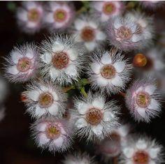 Verticordia insignis  WAWildflowers RobDavis8181 Dandelion, Flowers, Plants, Dandelions, Plant, Taraxacum Officinale, Royal Icing Flowers, Flower, Florals