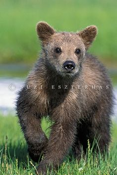 Alaskan Brown Bear cub by Suzi Eszterhas