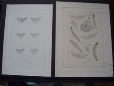 Rare Artists Proofs of Moths & Grubs by E. W. Robinson
