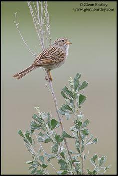 Brewer's Sparrow (Spizella breweri) perched on a branch in the Okanagan Valley, British Columbia, Canada.