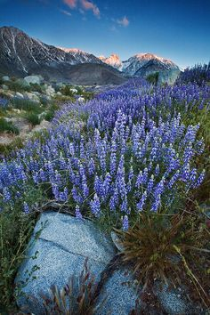 Eastern Sierra  Nevada, California Bush Lupine wildflowers