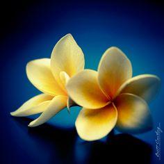 Yellow Plumeria/Frangipani Flowers....Love their fragrance!