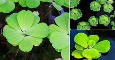Cómo+purificar+el+agua+de+la+piscina+con+plantas