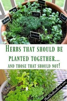 Herbs That Grow Together and ones that dont. What should you plant together in the herb garden and what to keep selevated. herb garden ideas Herbs That Grow Together In a Pot