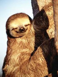 Happy sloth - I am deeply in love with Sloths.!! :D
