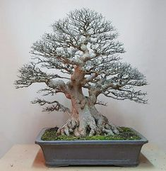 "42 Likes, 2 Comments - Bonsai Addicted (@bonsaiaddicted) on Instagram: ""Chinese Elm (Ulmus Parvifolia)⠀ By Zhong Quan Shi (China )"""