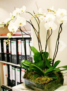 Orchids give a tranquil and relaxing feel to any office.