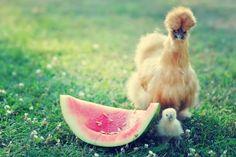 silkie chickens :)