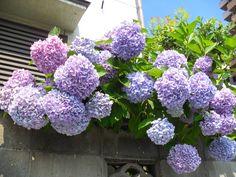Hortensia (Hydrangea macrophylla) - in Otsu City, Japan