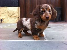 Chocolate dapple long haired miniature dachshund.