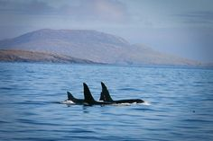 The death of Lulu leaves just eight resident orcas off Scotland.