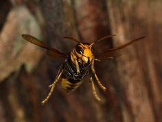Asian predatory wasp,or Asian Hornet or yellow-legged hornet, (Vespa velutina) ▶Controlled by the Invasive Alien Species Act . Import, transport and keeping are prohibited in Japan. picture:上野高敏 -Takatoshi Ueno-▶ツマアカスズメバチ〜2015年、環境省は特定外来生物に指定 ▶自然分布域〜中国、台湾、東南アジア、中東 ▶2013年に対馬に定着していることが初めて確認された。習性は非常に攻撃的で、すでにヨーロッパ、韓国に侵入したことで大問題になっている。