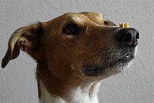 Hundetrick: Leckerchen balancieren und fangen