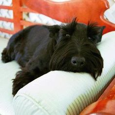 Barney Bush - When a Scottie leaves the world, a ray of sunshine disappears.