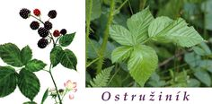 ostruzina-ostruzinik-ucinky-na-zdravi-co-leci-pouziti-uzivani-vyuziti