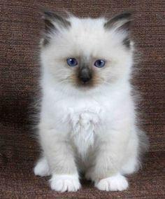Adorable Ragdoll kitten…