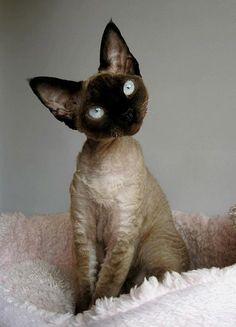 Devon Rex Cat, he looks like a velveteen kitty, so cute Pretty Cats, Beautiful Cats, Animals Beautiful, Gorgeous Gorgeous, I Love Cats, Crazy Cats, Cool Cats, Devon Rex Katzen, Kittens Cutest