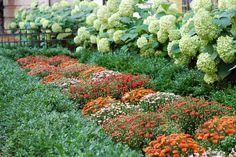 Fall Annuals Landscape Bed Boxwood Hedge Hydrangea Garden Mums Urban Garden Landscape Design