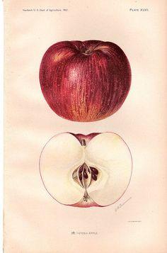 apple botanical drawing - Pesquisa Google