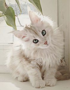 Outstanding... Beautiful Cats For Sale In Lahore #google
