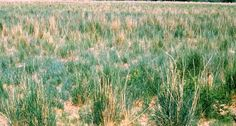 Tall wheagrass in Argentina on saline soils