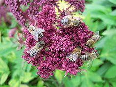 Bijen zijn belangrijk voor de bestuiving van vele planten en hebben daarom indirect een rol van ongeveer dertig procent in de keten van al het menselijk voedsel. Lees hier meer...