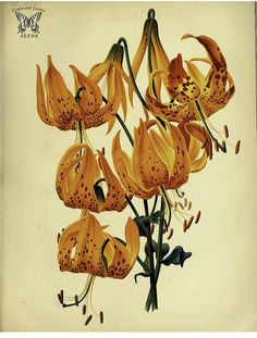 Humboldt's Lily. Lilium humboldtii. A 6 foot tall lily with golden orange flowers, spotted maroon. The garden, vol. 20 (1881)