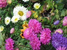"""Astern"" :-) Plants, Flowers, Trees, Garten, Flora, Plant, Planting"