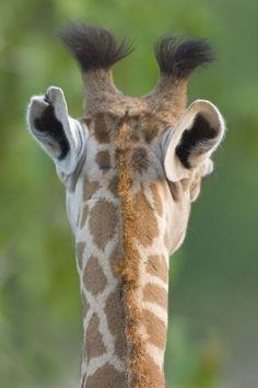 Solid-Faced Canvas Print Wall Art Print entitled Close-up of a Masai giraffe, Lake Manyara, Arusha Region, Tanzania (Giraffa camelopardalis tippelskirchi) Animals And Pets, Baby Animals, Funny Animals, Cute Animals, Giraffe Pictures, Animal Pictures, Beautiful Creatures, Animals Beautiful, Masai Giraffe