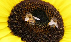 Researchers point to concerns over pesticides as diseases as bee numbers drop while farmland requiring the pollinators increases