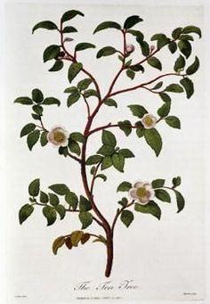 camellia sinensis vintage botanical - Google Search