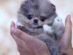 This little teacup pomeranian bud has super unique Blue Color! She has that super cuddly teddy bear look that is our specialty. Blue Pomeranian, Micro Teacup Pomeranian, Pomeranian Colors, Pomeranian For Sale, Micro Teacup Puppies, Tiny Puppies, Merle Pomeranian, Poodle Puppies, Teacup Yorkie