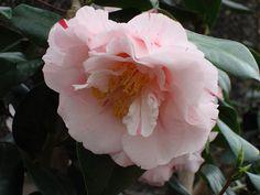 Camellia japonica 'Tomorrow Crown Jewel' (U.S., 1968)